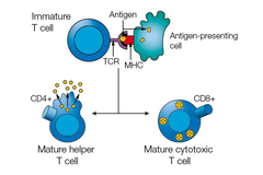 T-cells and NK-cells Figure 2