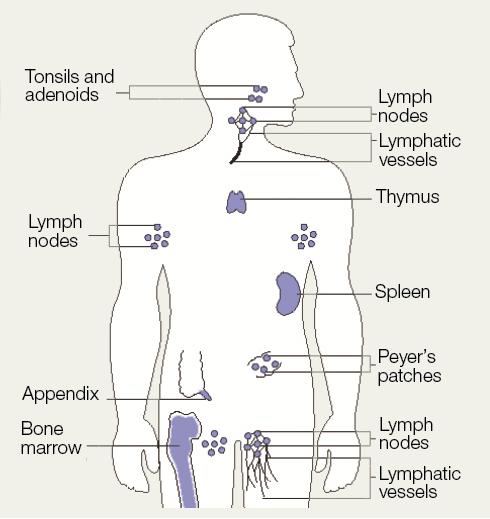 The Immune System: The Immune Response